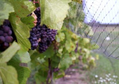 Pinot Grigio nets web